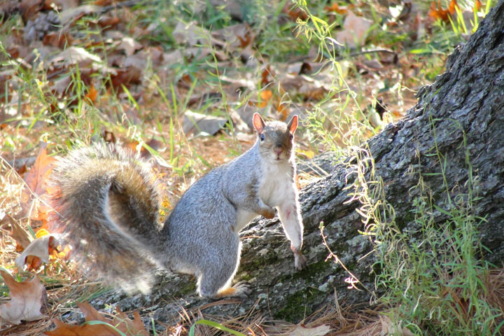 Fall Squirrel