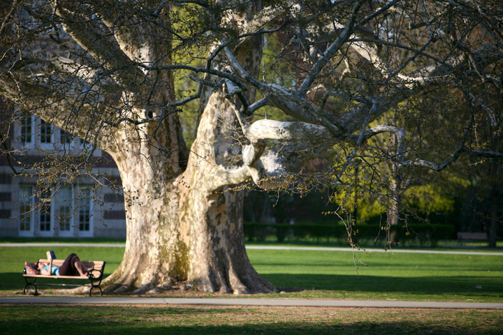 Library Plane Tree